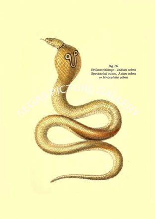 brillanschlange - Indian cobra, spectacled cobra, Asian cobra, or binocellate cobra